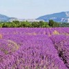 Lavender Fields in the Provence region