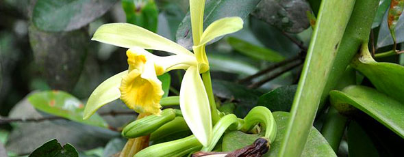 Vanilla Flower by Fpalli, Wikipedia